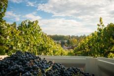 Merlot Grape Clusters in a Plastic Bin, Naramata Bench
