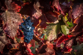 Merlot Grapes - Naramata Bench