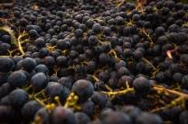 A close up photo of merlot grapes in a bin at Van Westen Vineyards along the Naramata Bench, BC. The clay silt along the Okanagan Lake shore provides the perfect growing conditions for big reds.