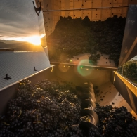 Van Westen Vineyard's Pinot Noir grapes being dumped from a bin, into the de-stemming machine before being crushed & pressed during harvest 2013 along the Naramata Bench in the South Okanagan Valley.