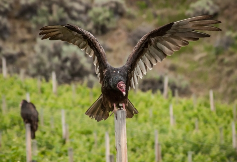 A roost of Turkey Vultures (Cathartes aura) warming their bodies early in the morning in the vineyard.