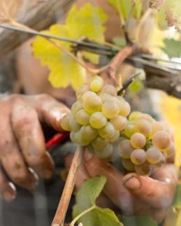 Vineyard Worker picking Viogner Grapes, Naramata Bench