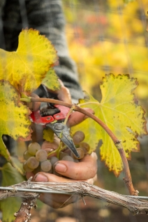 VanWesten_Vineyards-Harvest2014-8