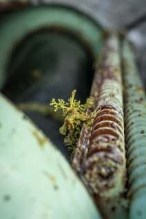 A destemmed cluster hangs onto the side of the press as the winemaker adds the clusters of viogner grapes into the press.