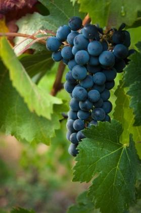 Cluster of Estate Grown Merlot Grapes on the Naramata Bench.