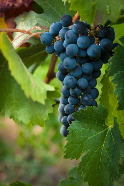Cluster of Estate Grown Merlot Grapes on the Naramata Bench.